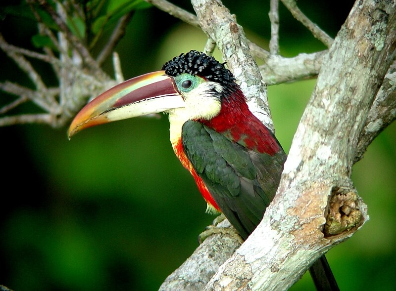 RFB Cristalino Jungle Lodge - Curl-crested Aracari (Pteroglossus beauharnaesii) - Will and Gill Carter