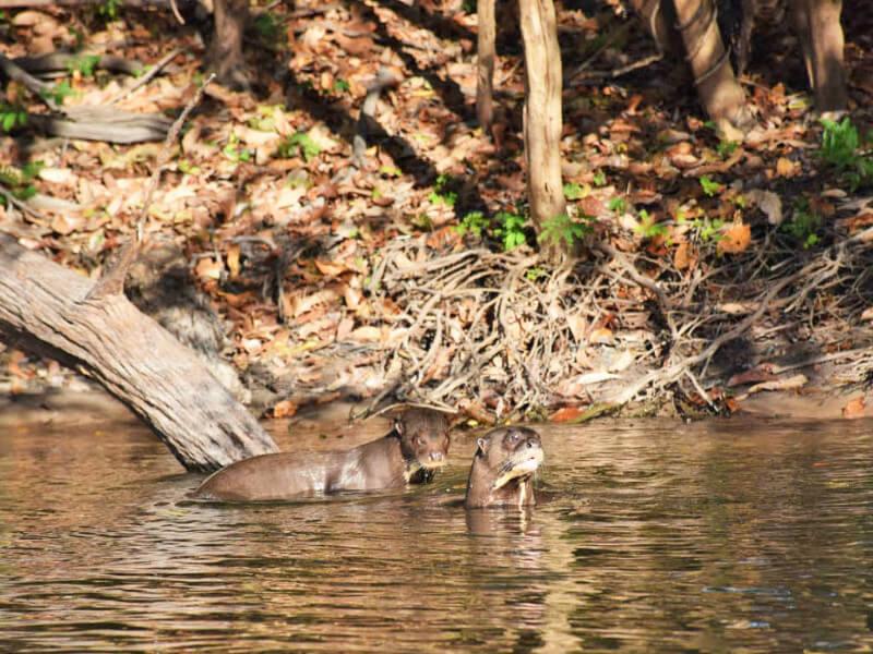 Ariranhas no Rio Cristalino Foto: Lala Rebelo